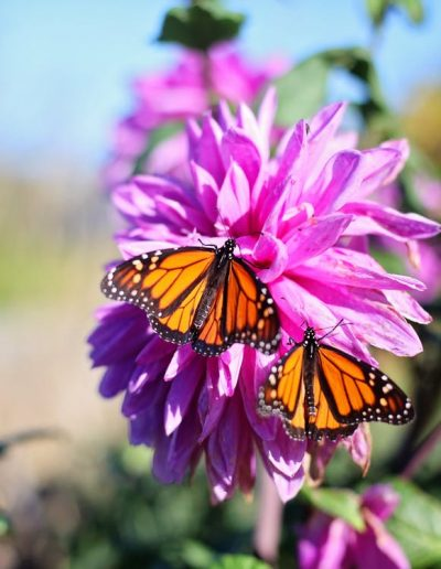 pacific-grove-monarchs-near-theolympialodge